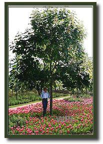 Shade Tree (1)